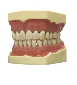 DENTAL MODEL JAW AG 3