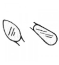 WACD Cleoid/ Discoid Amalgam Carver